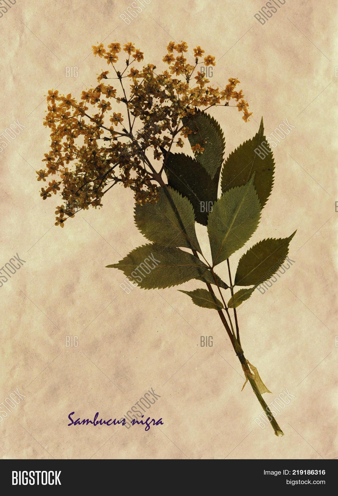 Herbarium Pressed Image Photo Free Trial Bigstock