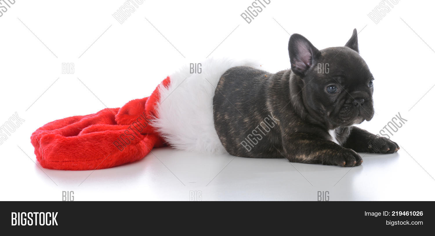 French Bulldog Christmas Stocking.Five Week Old French Image Photo Free Trial Bigstock