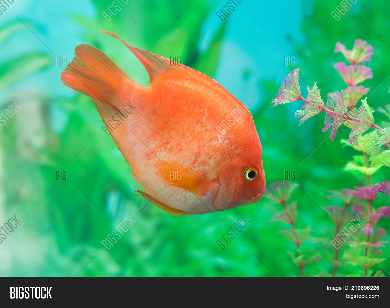red parrot cichlid image photo free trial bigstock