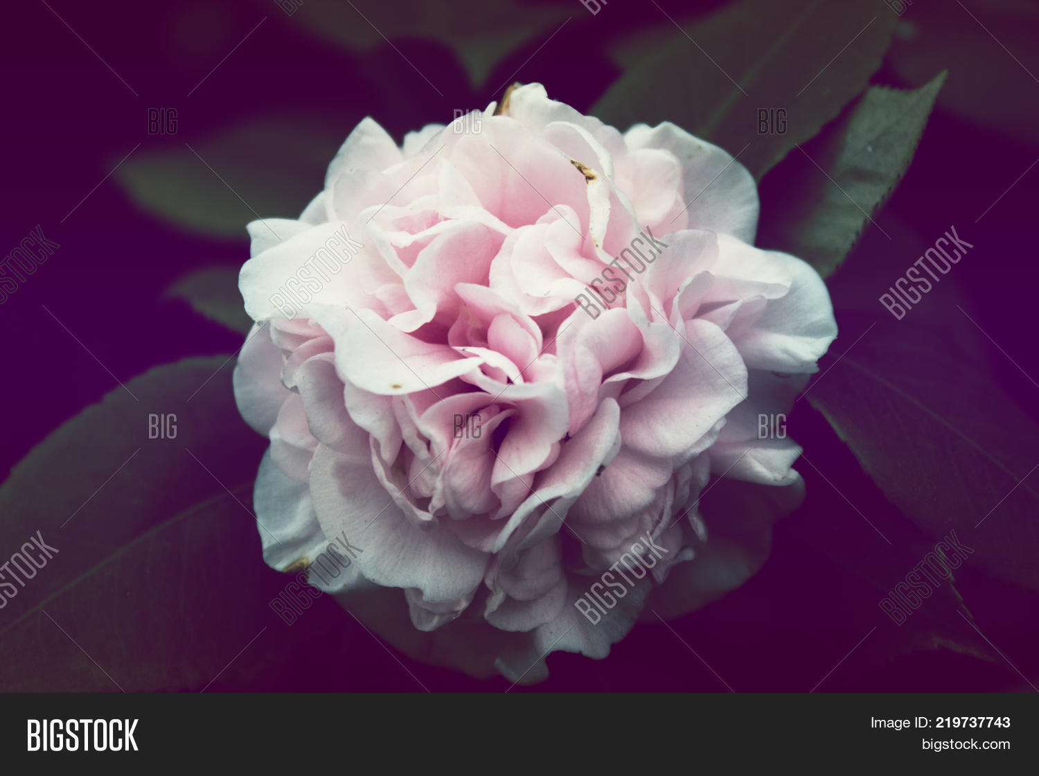 Pink Flower Background Image Photo Free Trial Bigstock