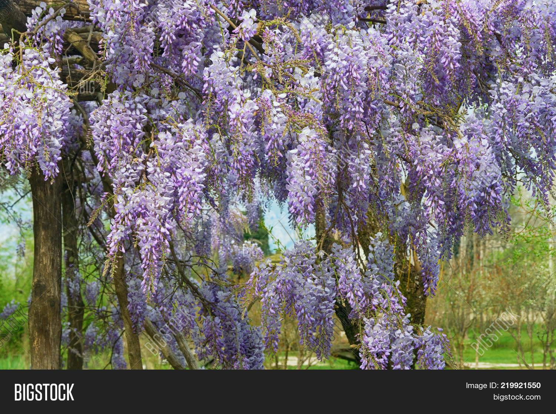 Spring flowers vine image photo free trial bigstock spring flowers vine of blooming wisteria in garden mightylinksfo
