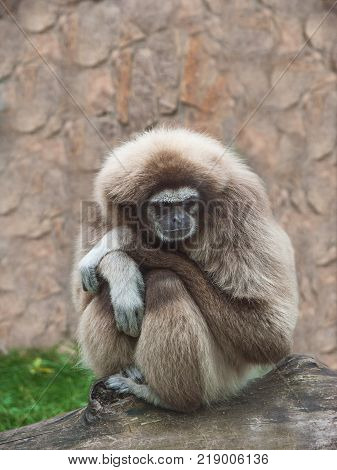 Adult male lar gibbon ape, Hylobates lar, is sitting with his legs pulled up, arms crossed and head rested on his knees, in a pensive or sad pose. A monkey has black snout and brown hair.