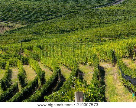 Langhe vineyards in piedmont italy under the sun