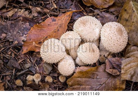 Mushrooms on the ground in the autumn forest. It is The Lycoperdon perlatum popularly known as the common warted or gem-studded puffball respectively the devil's snuff-box is a species of puffball fungus in the family Agaricaceae.