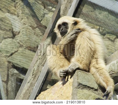 A young lar gibbon ape, Hylobates lar, is sitting on the top of stone wall. A monkey has black snout and brown hair.
