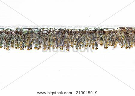 Mosquito larvae in water on white background