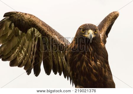 a powerful predatory Harris hawk, a raptor, in Adare, Ireland