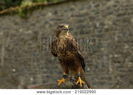majestic buzzard, a raptor, on a perch in Adare, Ireland poster