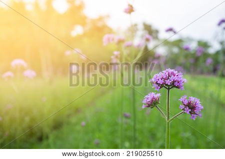 Purple flowers in the backyard. For decoration in the room. interior decoration. Sunshine on the day of love, New Year and Valentine's Day. Happy in warm day. purple flower on green tree background.