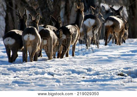 Roe deer (Capreolus capreolus) in winter. Beautiful wild animals.