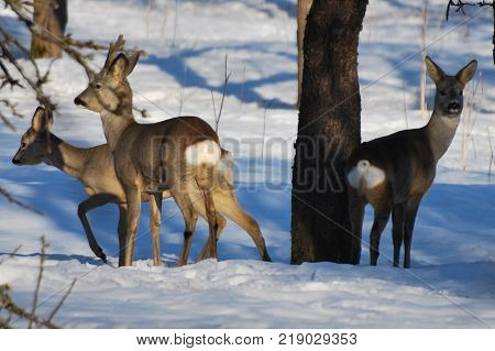 Roe deer (Capreolus capreolus) in winter. Beuatiful wild animal.