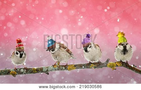 four funny birds Sparrow sitting on a branch in winter Christmas forest in a humorous knitted hats