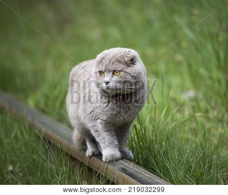 Gray Scottish Fold Cat on the rails against the background of green grass