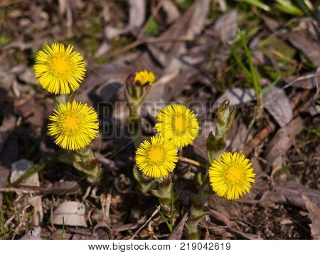 Flowers in early spring, blooming coltsfoot or tussilago farfara, close-up, selective focus, shallow DOF.