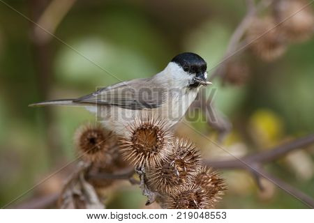 Marsh Tit, Poecile palustris on a thistle. Little wild bird eating seeds. Marsh tit in natural environment feeding.