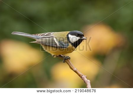 Great tit, Parus major, with autumnal background. Wild bird pearched with yellow bluerred background.
