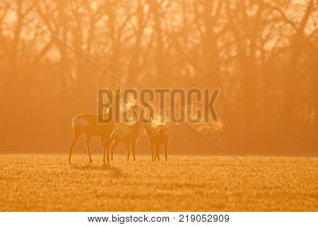 Roe deer, capreolus capreolus, morning backlight silhouette. Group of deer in winter during sunrise. Wild animals heavy breathing in orange coloured dawn.