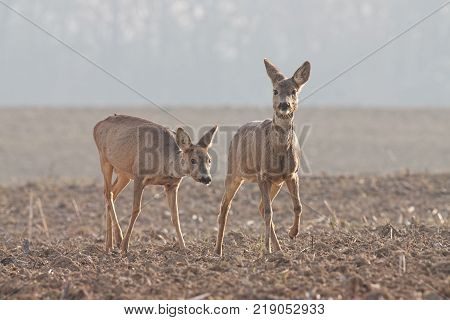 Capreolus capreolus, two Roe Deer walking. Wildlife scenery. Two wild deer migrating.