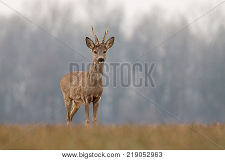Roe deer, capreolus capreolus, in spring with new antlers. Wild animal with blurred background. Roebuck in spring. Majestic old male deer standing proudly. Wildlife scenery.