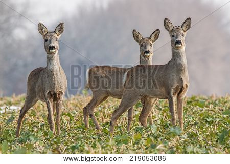 Roe deer, capreolus capreolus, herd in spring. Three wild animals watching curiously towards camera. Cure deer family.