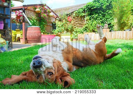 Dog happy female basset hound play and laying down on green grass in a green field garden background and flowers trees buddha image wood bamboo summer season in europe.