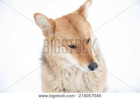 Sad Dog Look In Winter Not Against White Background