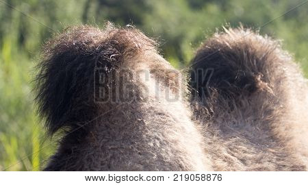 two humps of a camel . In the park in nature