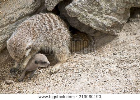 the mother meerkat is groonming the baby meerkat