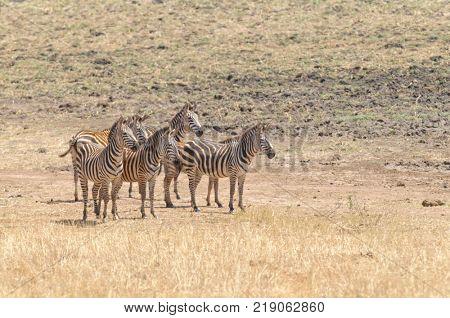 herd of Zebra in the Tarangire National park, Tanzania