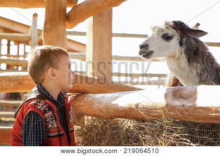 Little boy with alpaca in zoological garden poster
