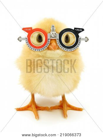 Crazy yellow chick with ophthalmology glasses