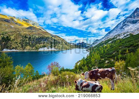 Sore cows grazing in a meadow. Mountain Lake Lago di Fedaia, Dolomites. The concept of ecological and extreme tourism