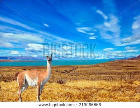 Flat plain with shallow lakes and yellowed grass. Patagonian Pampas. In the grass grazing wild guanaco. The concept of active and ecological tourism