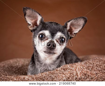 cute apple head chihuahua on a soft brown pet bed in a home environment