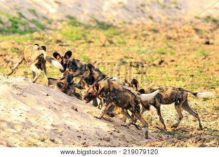 A Pack of African Wild Dogs (Lycaon Pictus) alsoknown as Painted Dogs playing and fighting after enjoying a meal. South Luangwa National Park Zambia - Southern Africa