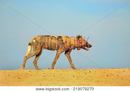 Isolated African wild dog (Lycaon Pictus) which is collared by the Research team walking on a sand bank with a bright blue clear sky background in South Luangwa National Park Zambia