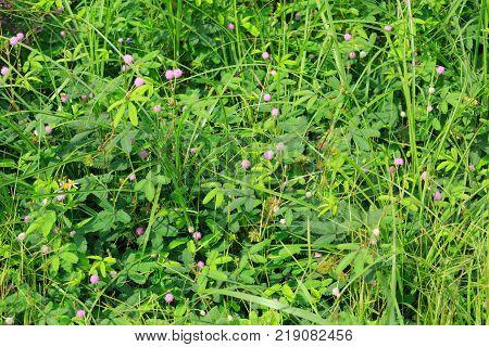 closeup of green mimosa pudica sensitive plant
