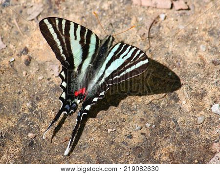 Zebra Swallowtail (Eurytides marcellus) in the southern United States