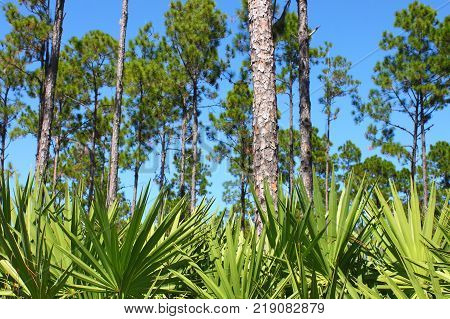 The beautiful pine flatwoods of Florida on a clear day