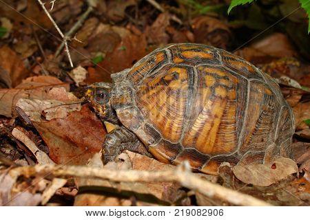 Box Turtle (Terrapene carolina) in the southern United States