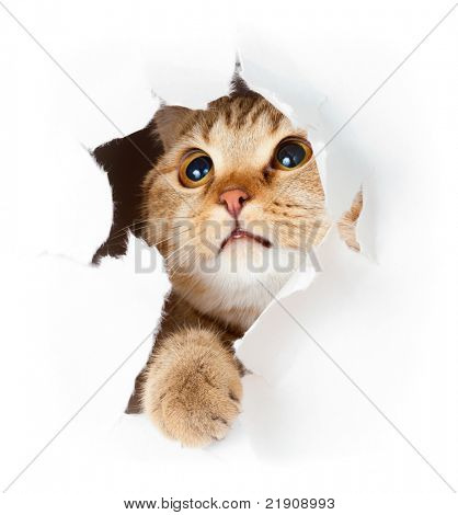 cat in paper side torn hole isolated