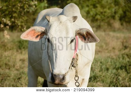 closeup photo of white cow, front view