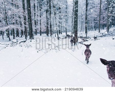 Winter wildlife landscape with young does in Black Forest, Germany.