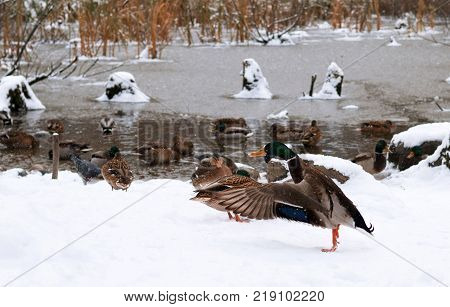 This duck stretching his wings while preparing to fly to warmer lands. It's already cold and it's snowing. It's time to fly away.