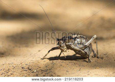 Macro of an Armoured Ground Cricket walking over sand in the Kalahari poster