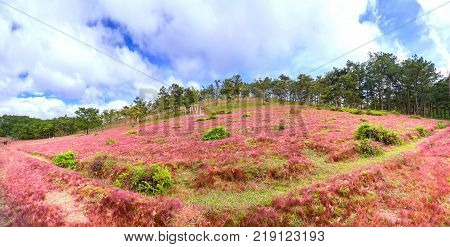 Panoramic pink grass hills and pine forests during festive season with banner