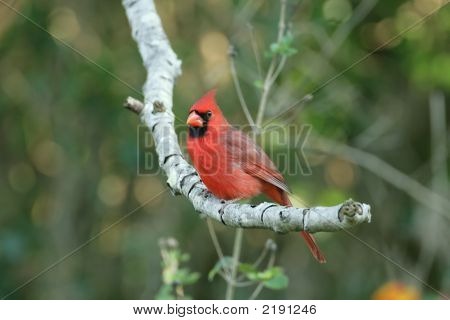 Northern Cardinal _Mg_1358