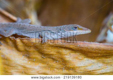 A wild lizard on some dried corn husk