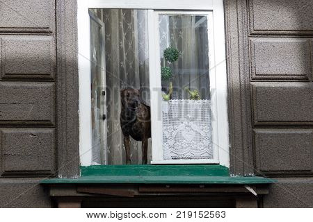 Dog standing on window sill looking out into the street and barks