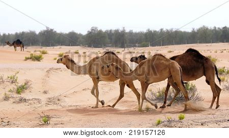 group of Cute single-humped camel or dromedary in beautiful liwa desert in the middle of the day.
